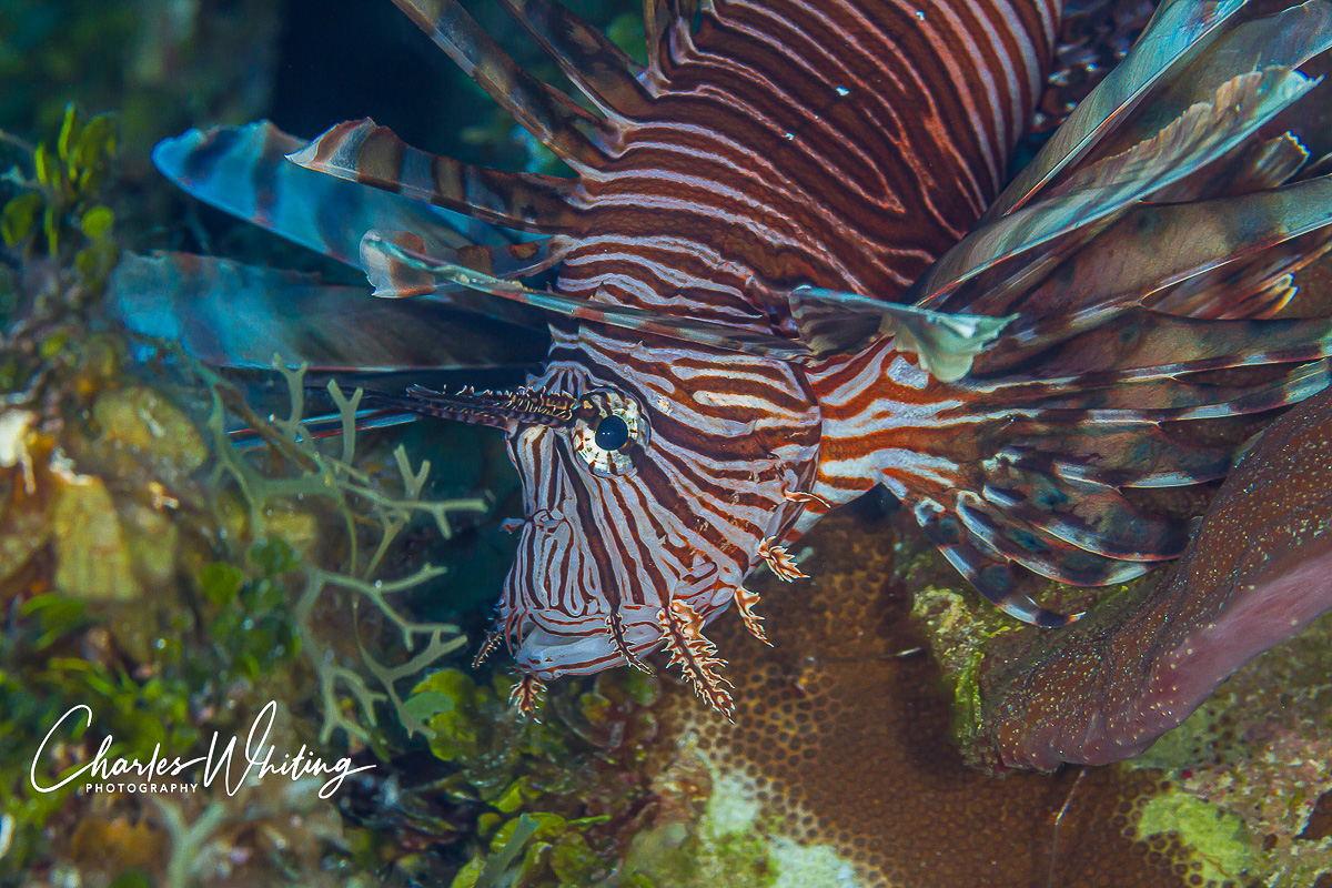 SCUBA, Underwater Photography, Turks and Caicos Islands, Lionfish, photo