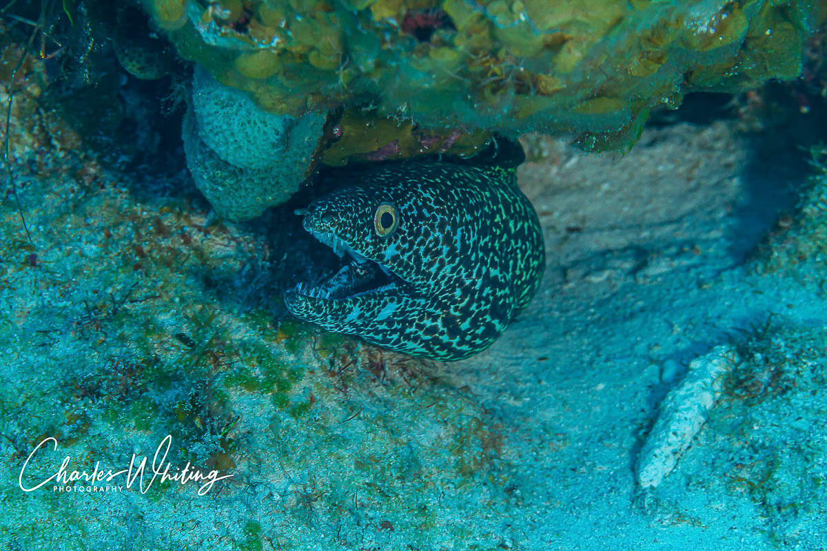 Turks and Caicos Islands, Spotted Moray Eel, Coral reef, photo