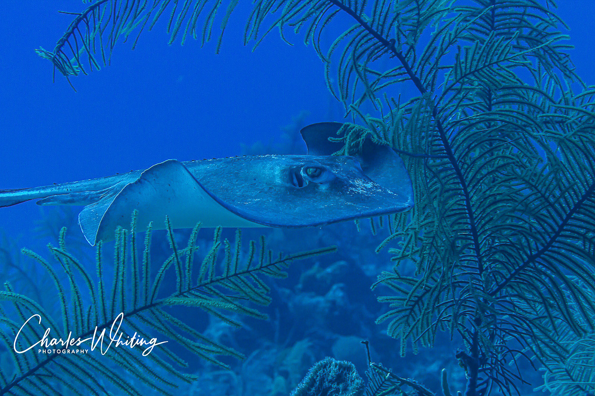 A Southern Stingray swims through the soft corals