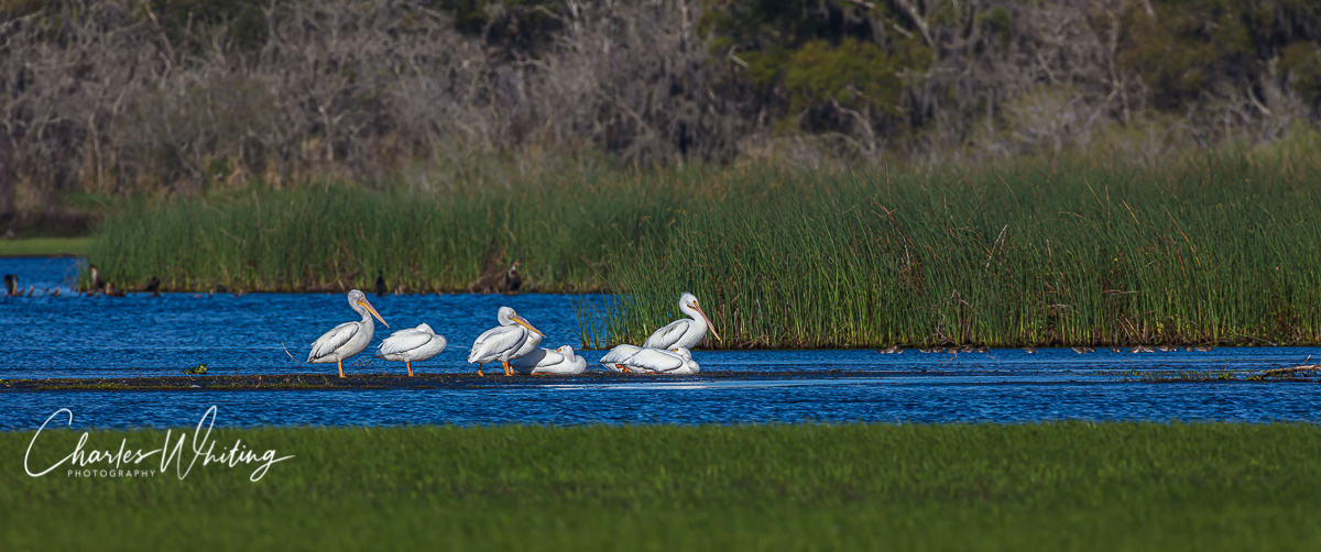American White Pelicans in the Myakka River preserve