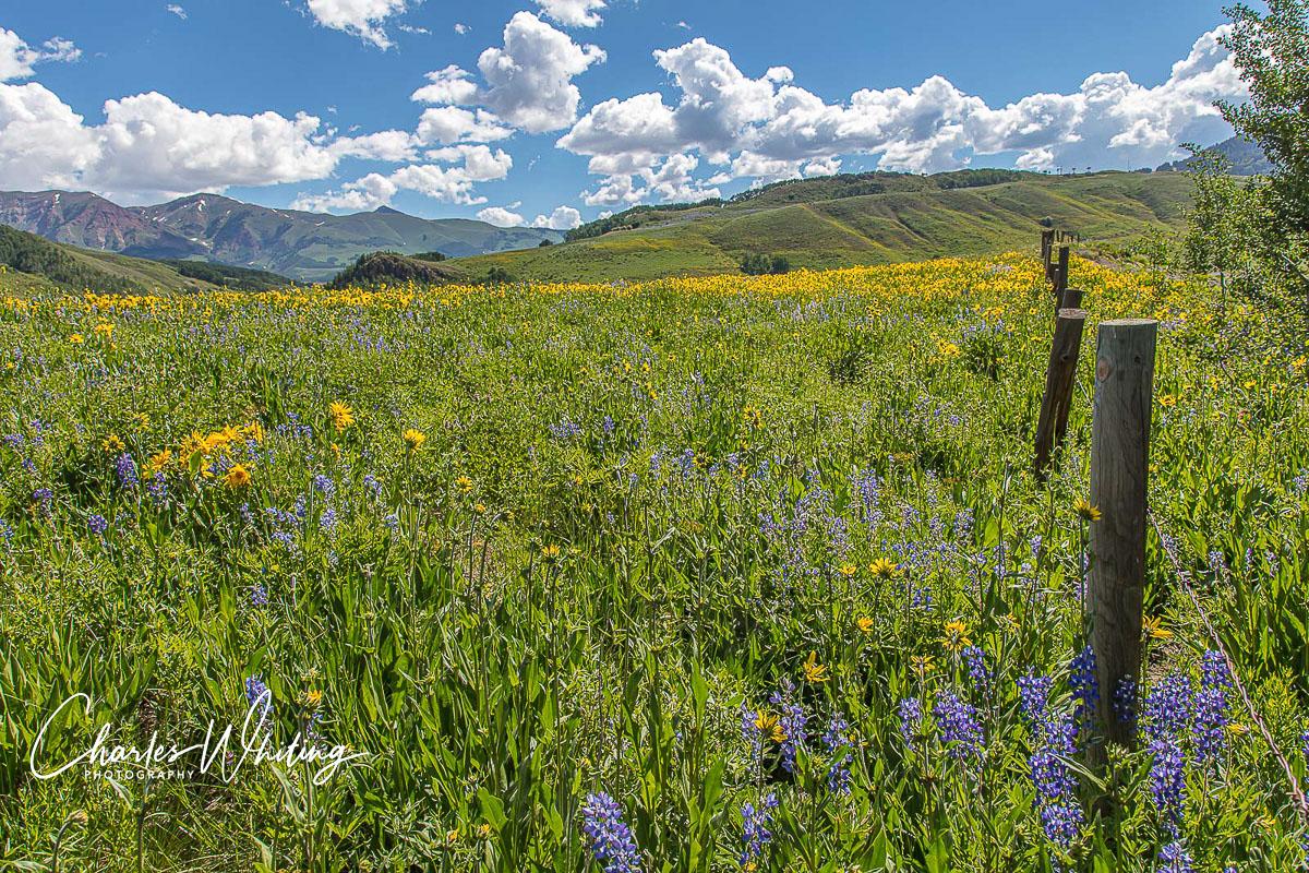 Purple Lupine, Aspen Sunflowers, Crested Butte, Colorado, photo