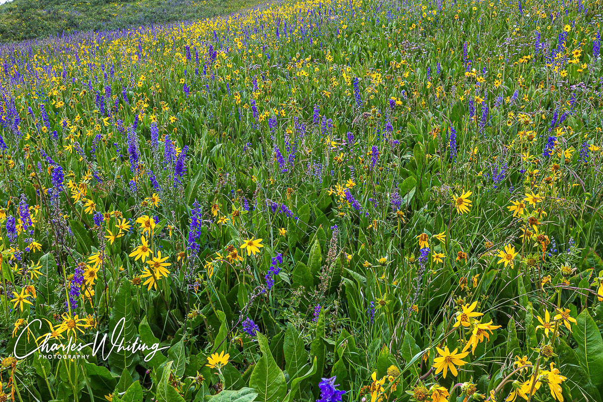 wild flowers, blue larkspur, yellow Aspen Sunflowers, Crested Butte, Colorado, photo