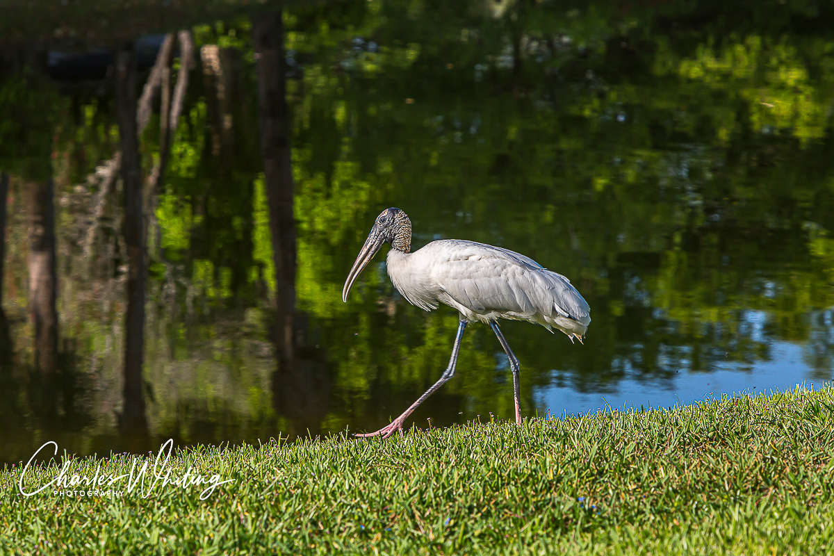 Wood Stork, Deerfield Beach, Florida, photo